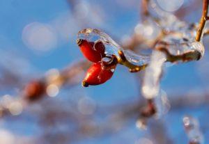 """Das rote Wunder des Winters. - """"Ein Männlein steht im Walde ..."""