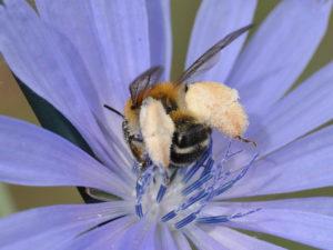 Die Braunbürstige Hosenbiene (Dasypoda hirtipes) ist im Sommer oft am Wegesrand in den Blüten der Wegwarte (Cichorium intybus) zu beobachten. Foto: Hannes Petrischak