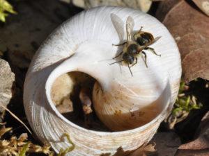 Ein Männchen der Goldenen Schneckenhaus-Mauerbiene (Osmia aurulenta) wartet auf einem leeren Weinbergschneckenhaus und hofft, sich hier mit einem Weibchen paaren zu können. Foto: Hannes Petrischak