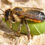 Keine guten Nachrichten zum Weltbienentag. Seit vielen Jahren schwindet die Bienen-Vielfalt, dabei gilt die Hälfte aller Arten als bedroht.
